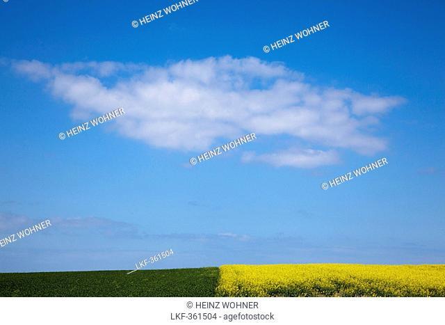 Cloud above a yellow rapeseed field, Wittow peninsula, Ruegen island, Baltic Sea, Mecklenburg-West Pomerania, Germany
