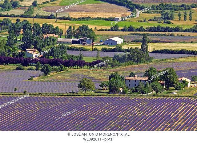 Lavender fields at Sault, provence  Alpes-de-Haute-Provence, France