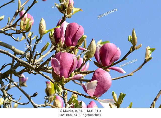 magnolia (Magnolia 'Lennei', Magnolia Lennei), cultivar Lennei