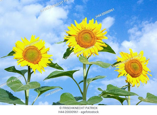 Sunflowers field, Switzerland