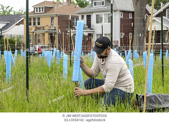 Detroit, Michigan - Blake Kownacki, general manager of Detroit Vineyards, plants Marquette wine grapes on formerly vacant land in the city's Morningside...