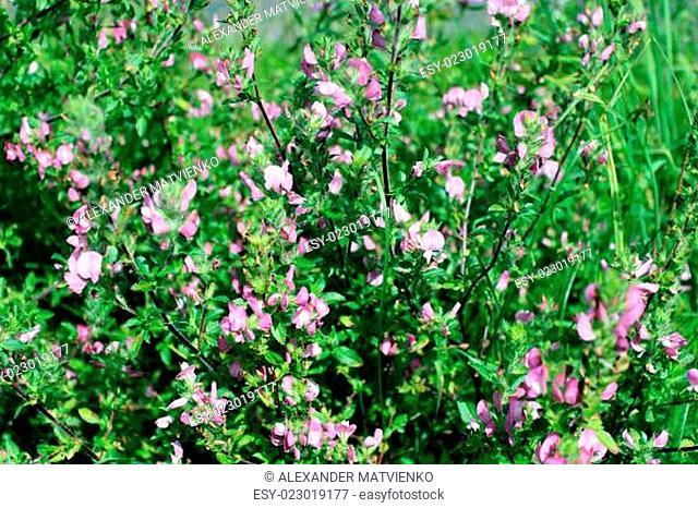 beautiful pink meadow flowers