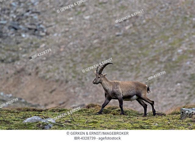 Alpine ibex, (Capra ibex), High Tauern National Park, Carinthia, Austria