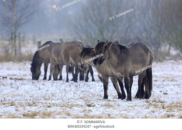 Konik horse (Equus przewalskii f. caballus), konik horses standing in a snowy meadow, Germany