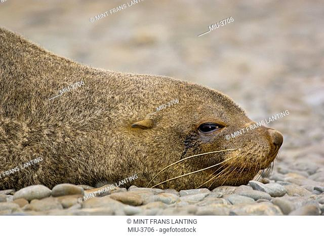Antarctic fur seal male, Arctocephalus gazella, Orkney Islands, Antarctica