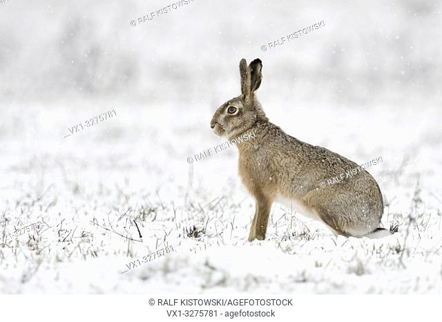 Brown Hare / European Hare ( Lepus europaeus ) in winter, sitting in snow, snowfall, watching attentively, side view, wildlife, Europe