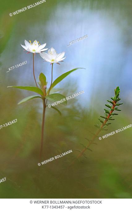 Northern Starflower/Chickweed Wintergreen (Trientalis europaea), Finland