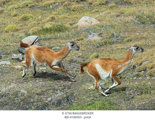Guanacos (Lama guanicoe) running in the steppe, Torres del Paine National Park, Chilean Patagonia, Chile
