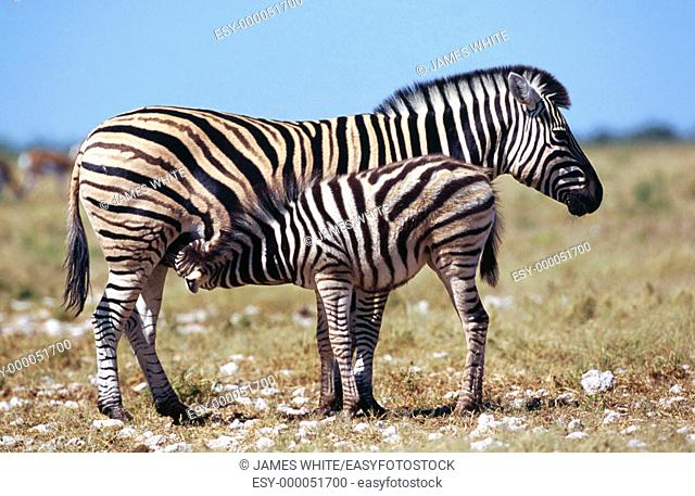 Burchell's Zebra (Equus burchelli), female suckling young. Etosha National Park, Namibia