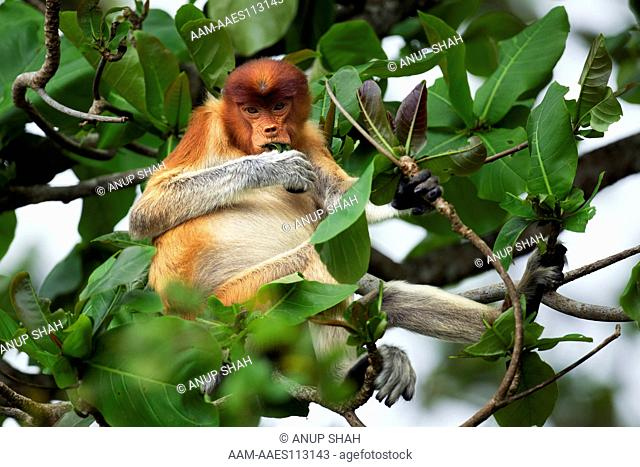 Proboscis monkey young male feeding on leaves in the forest canopy (Nasalis larvatus). Bako National Park, Sarawak, Borneo, Malaysia. Mar 2010