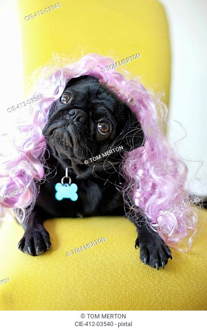 Dog wearing colorful wig in chair