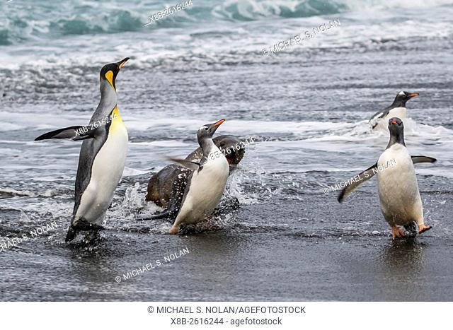 An adult gentoo penguin, Pygoscelis papua, fleeing from an Antarctic fur seal, Arctocephalus gazella, in Gold Harbour, South Georgia