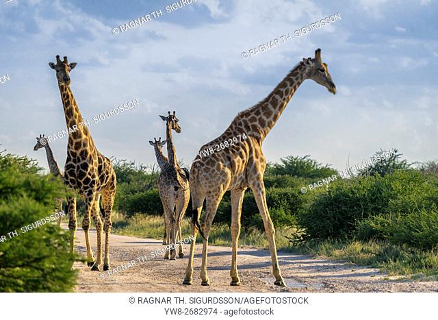 Herd of Giraffes on the road, Etosha National Park, Namibia, Africa