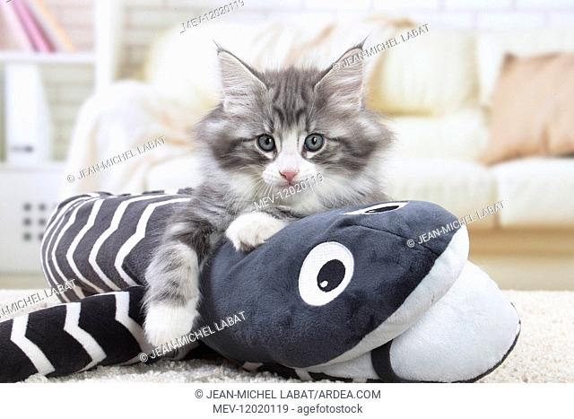 Norwegian Forest Cat, kitten with soft toy snake