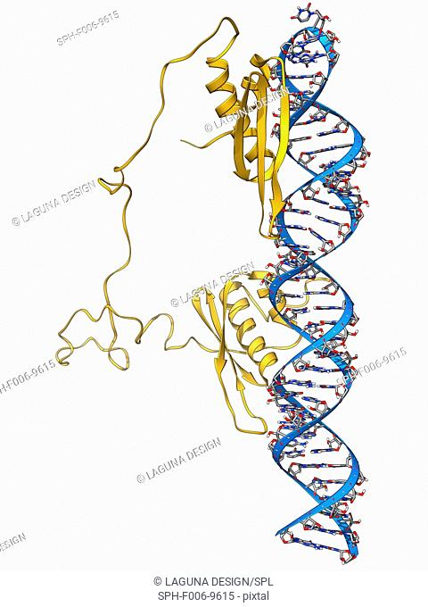 RNA editing enzyme, molecular model. This enzyme binds to double-stranded RNA (ribonucleic acid)