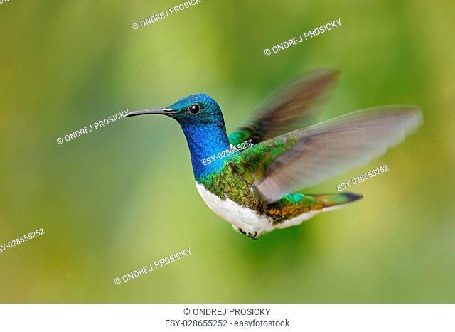 Flying blue and white hummingbird White-necked Jacobin