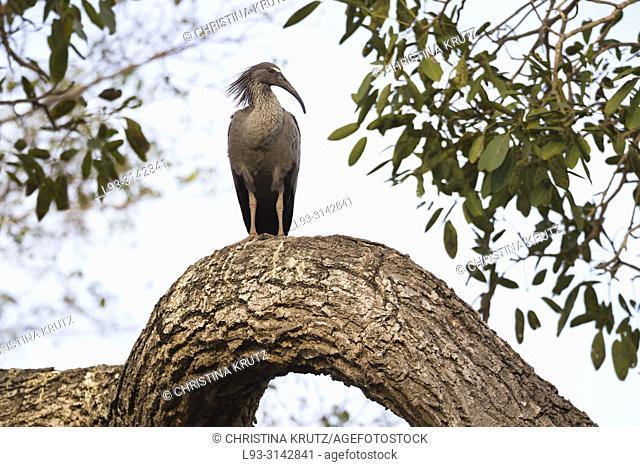 Plumbeous Ibis, Theristicus caerulescens, Pantanal, Brazil