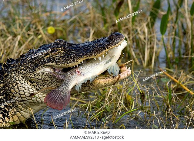 American Alligator (Alligator mississipiensis) eating a large fish (introduced cichlid). Viera, Florida, USA