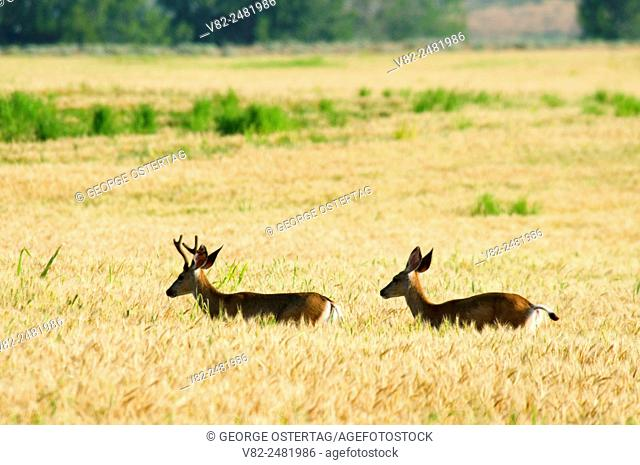 Deer in wheatfield, Umatilla National Wildlife Refuge, OR