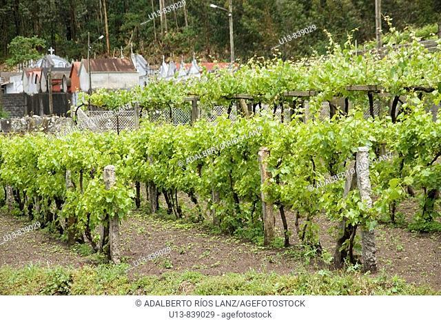 Albariño Grape Vineyard
