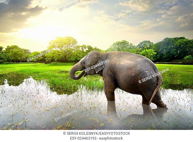 Elephant, bathing in lake near green trees
