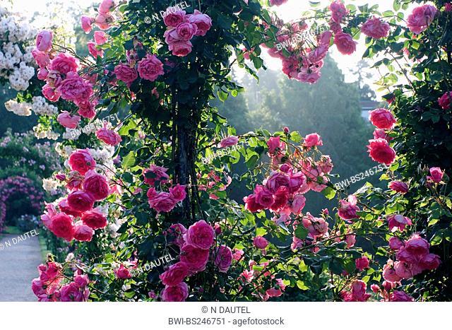 ornamental rose Rosa 'Parade', Rosa Parade, cultivar Parade