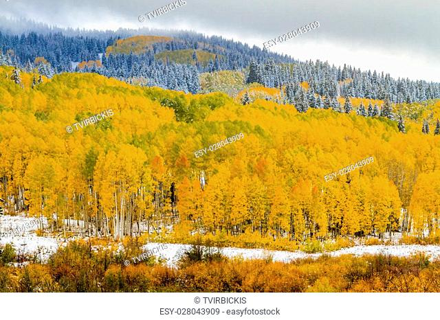 Mountainside filled with changing yellow Aspen trees and snow covered pine trees in early season snowstorm
