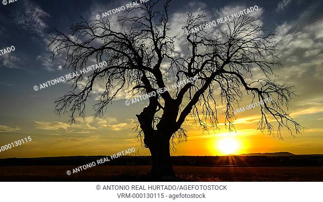 Dry tree at sunset. Almansa. Albacete province. Spain
