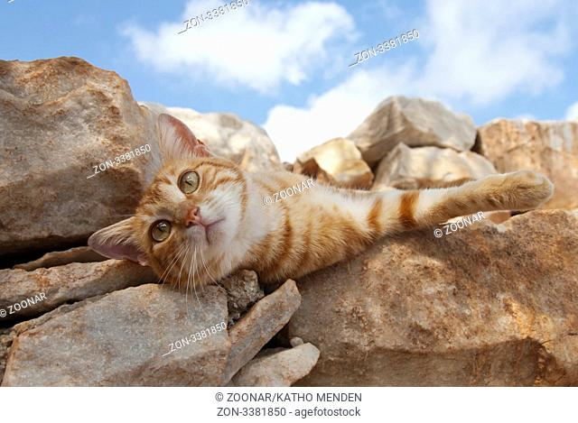 Hauskatze, rotgestromt, rekelt sich auf einer Felsmauer, Kykladen / Cat, red classic tabby, stretching out and relax on a rocky wall, Cyclades, Greece