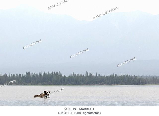 Bull moose, Yukon, Canada
