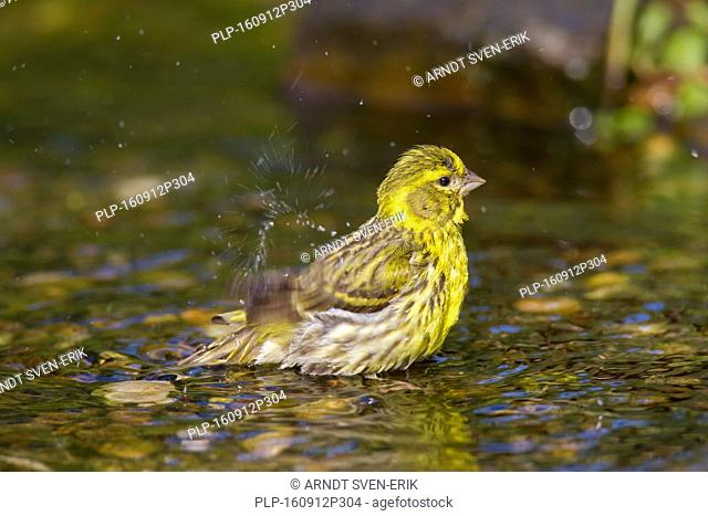 European serin (Serinus serinus) bathing in shallow water of creek