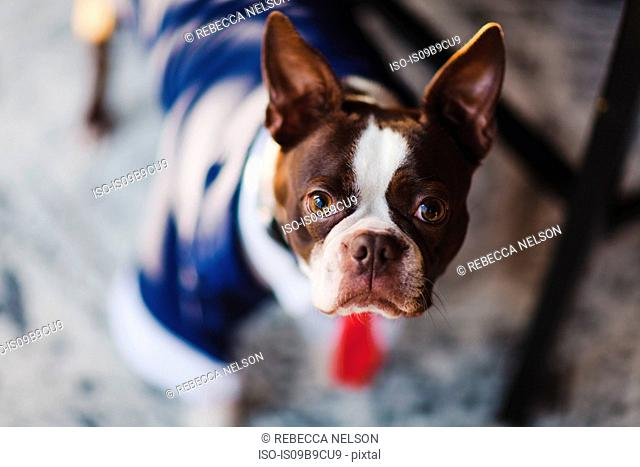 Shallow focus portrait of boston terrier wearing business attire