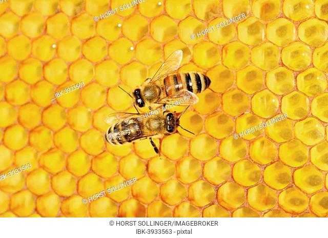 Two honey bees, left, Carnian (Apis mellifera var carnica), right, a hybrid Italian Bee (Apis ligustica bast.) on honeycomb with a propolis coating