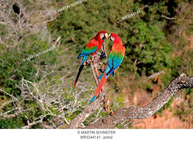 Red and Green Macaw (Ara Chloropterus), Buraco Das Araras, near Jardim and Bonito, Pantanal, Mato Grosso do Sul, Brazil, South America