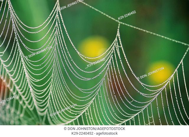 Dewy orb web with buttercups, Greater Sudbury, Ontario, Canada