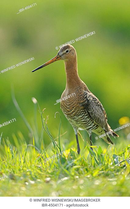 Black-tailed godwit (Limosa limosa) standing in meadow, Texel, The Netherlands