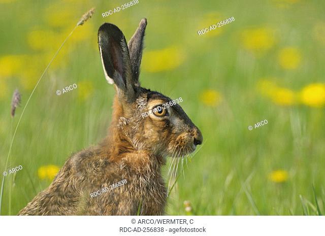 Brown Hare conservation area Dingdener Heide North Rhine-Westfalia Germany Lepus europaeus side profile Feldhase Naturschutzgebiet Dingdener Heide...