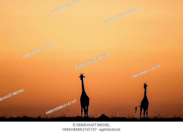 Kenya, Masai Mara Game Reserve, Girafe masai (Giraffa camelopardalis), at sunrise