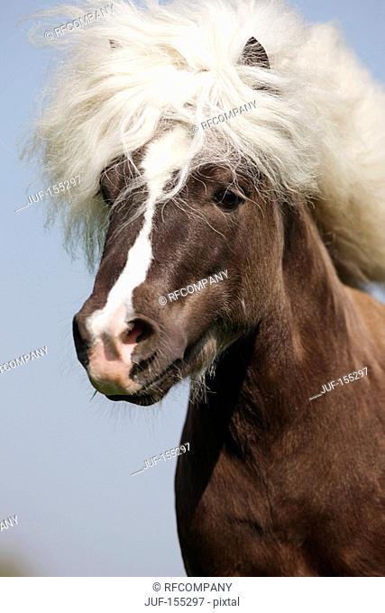 Classic Pony horse - Portrait