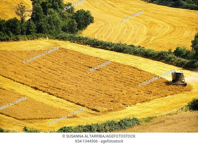 Harvest of corn at view of eagle, photo taken in Solsonès, Lleida, Catalonia, Spain, Europe