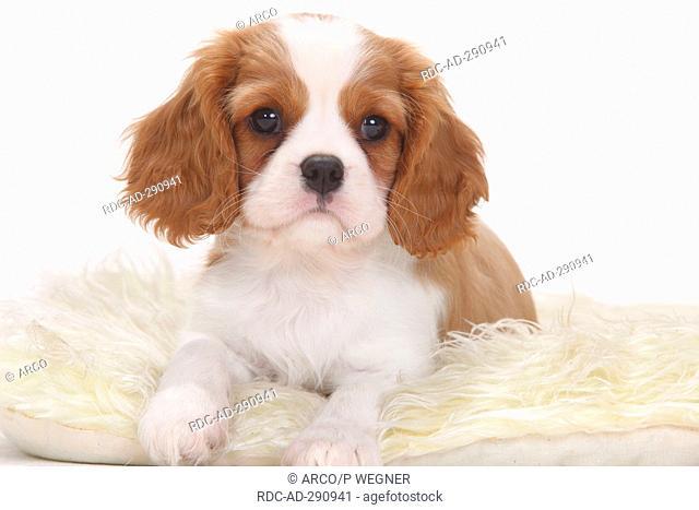 Cavalier King Charles Spaniel, blenheim, puppy, 8 weeks