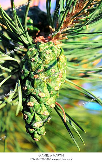 Closeup view of a green pine cone in summer