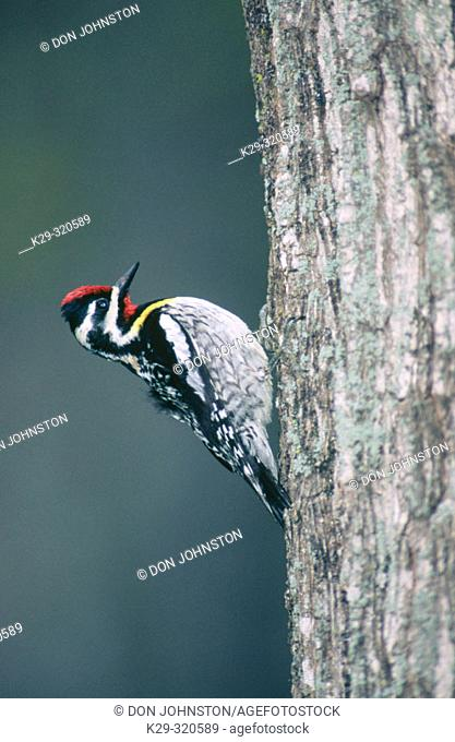 Yellow bellied Sapsucker (Sphyrapicus varius). Male on mature maple tree. Manitoulin Island. Ontario. Canada