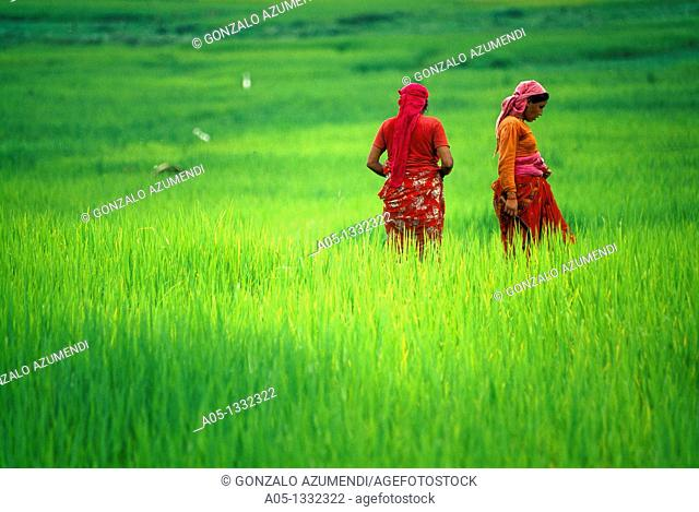 Rice field  Pokhara valley  Nepal