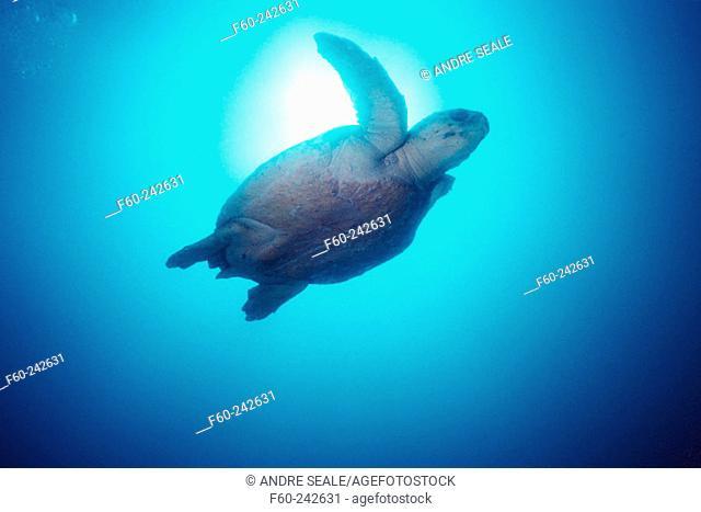 Loggerhead Turtle (Caretta caretta). Julian Rocks, Byron Bay. Australia