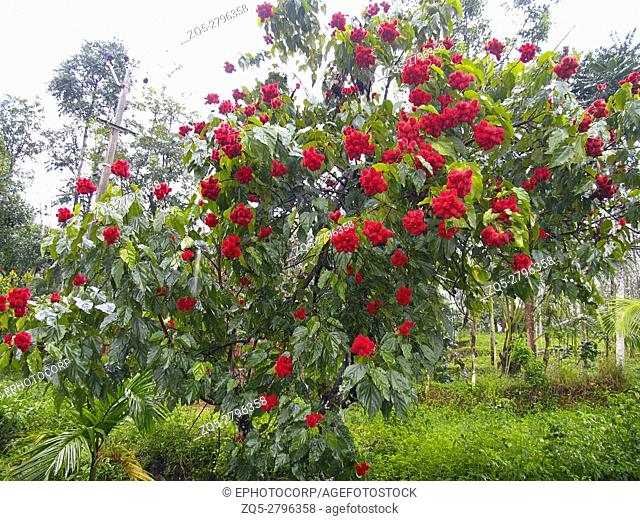 Red Rambutan, Nephelium lappaceum fruit in Kerala, India