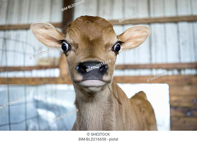 Close up of surprised calf in barn