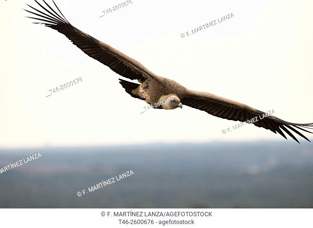 Griffon vulture (Gyps fulvus), Hoces del Río Duratón Natural Park, Segovia Province, Castile-Leon, Spain