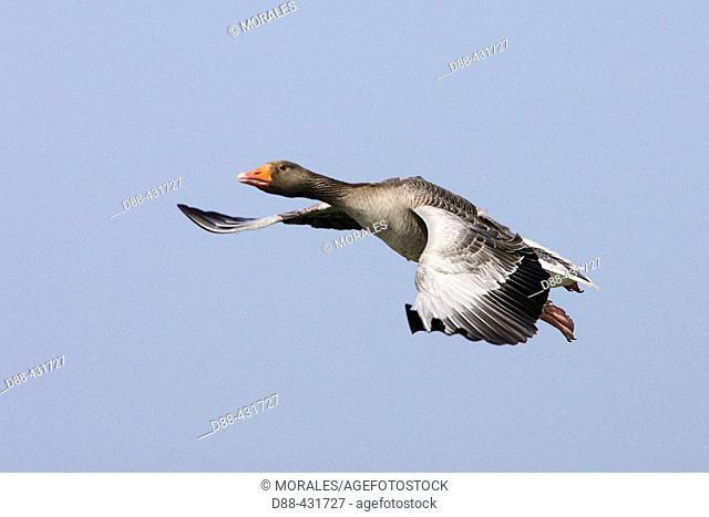 Grey Lag Goose (Anser anser)