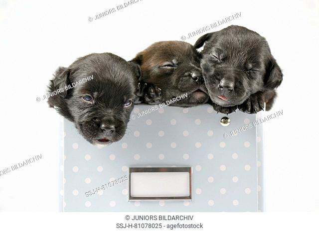 Mixed-breed dog. Three puppies (4 weeks old) sleeping in a box. Studio picture against a white background. Germany